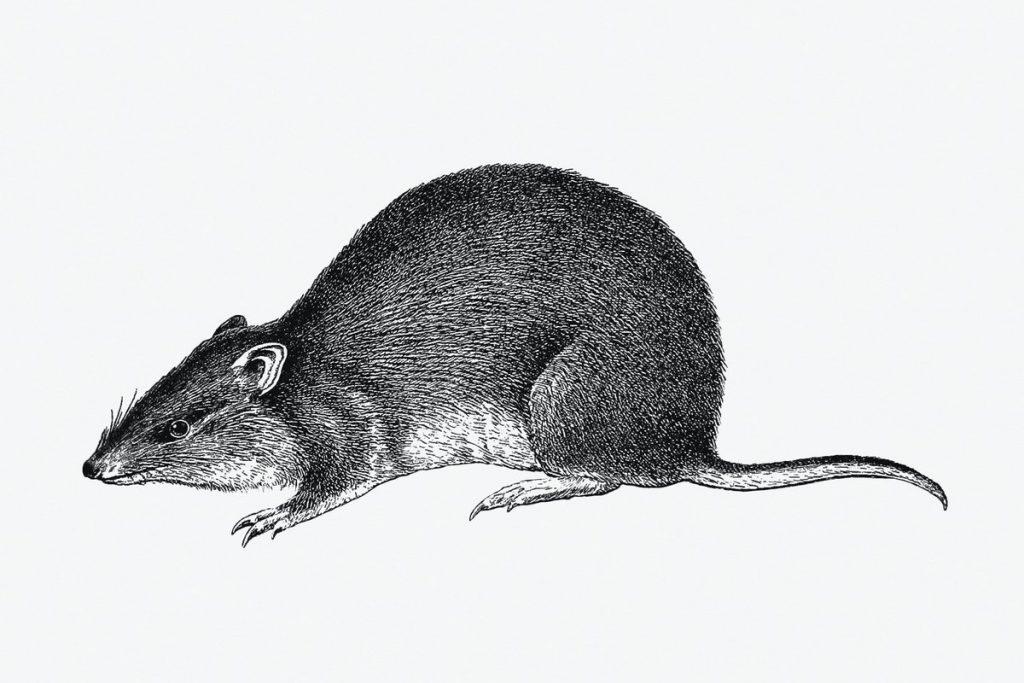 Tips Ampuh Mengusir Tikus Di Mobil